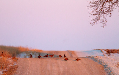 Ring-necked Pheasant Neal Smith National Wildlife Refuge NWR Prairie City IA  IMG_2463