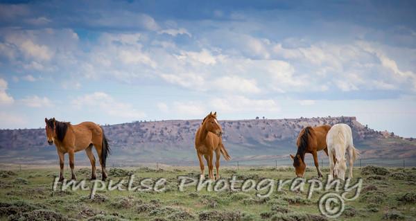 bucking horses web-1896