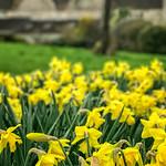 Sunday Daffodils
