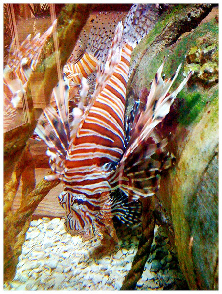 Red Lionfish (thanks Brian Stephen Green!)<br /> 7/16/2010<br /> Found in the tropical fish tank of a restaurant in Delray Beach, FL<br /> iPhone 3G
