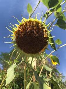 Sunflower, Nevada City CA -IMG_3501