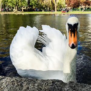 Boston Swan 3