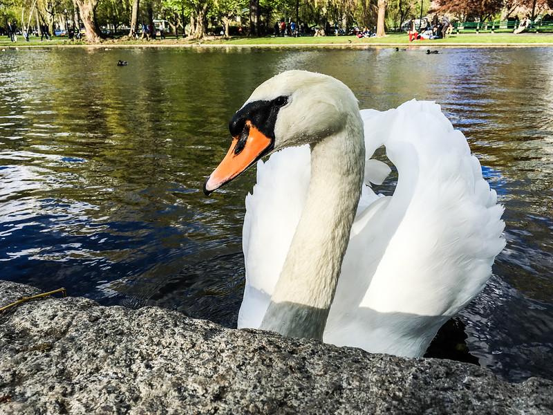 Boston Swan 2