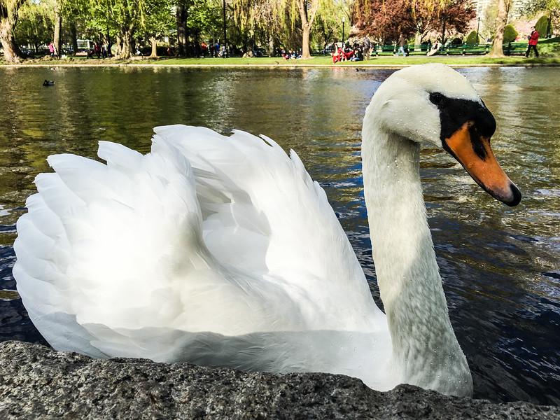 Boston Swan 1