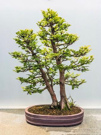 Bonsai trees at the Chicago Botanical Gardens...