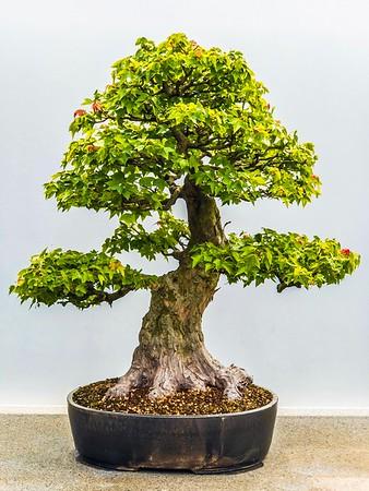 Bonsai trees taken at the Chicago Botanical Gardens...