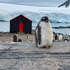 Gentoo Chick at Port Lockroy post office