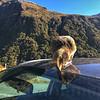 Kea on car roof