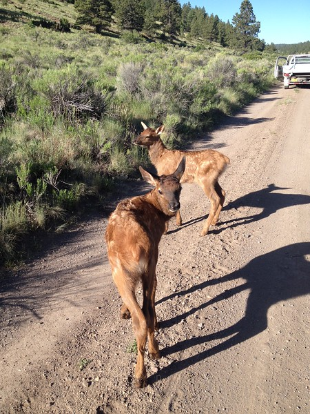 Elk calves that came up to me on the road