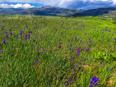 Wildflowers near Steamboat Springs