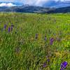 Wildflowers near Steamboat Springs