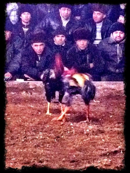 Cock fight at Namangan, Andijon Region