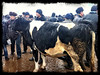 Cattle market at Namangan, Andijon Region
