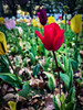 Tulips are Better Than One