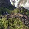 Oak at sidewalk in NOLA