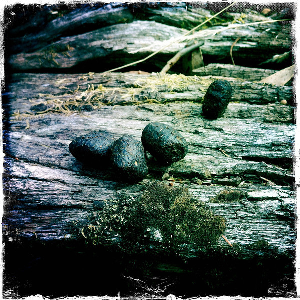 Wombat poo on timber. Upper Loddon State Forest. Jan 2012.