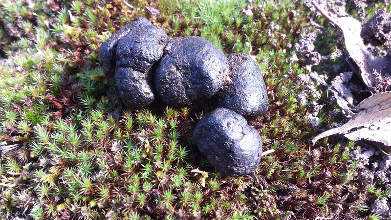 2013. Lerderderg Gorge State Park. Shiny, hard, sun-dried.  Wombat poo on moss.