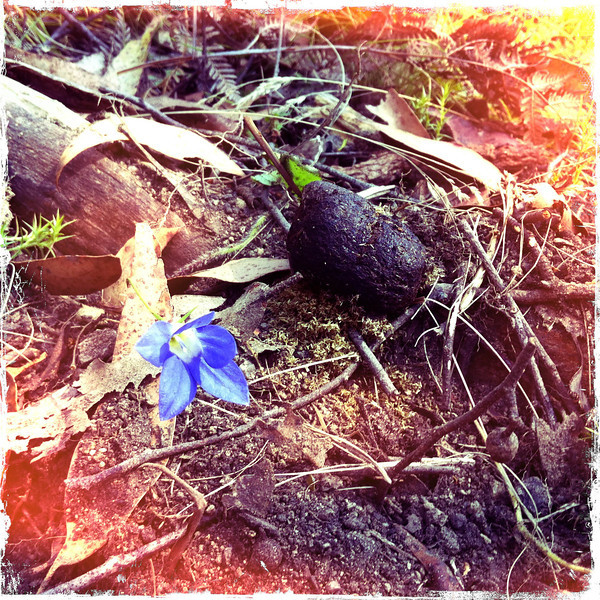 Week old wombat poo on leaf litter with flower. Cowbaw State Forest, Victoria. Dec 2011.