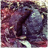 Massive wombat poo on granite, with leaf litter. Cowbaw State Forest, Victoria. Dec 2011.