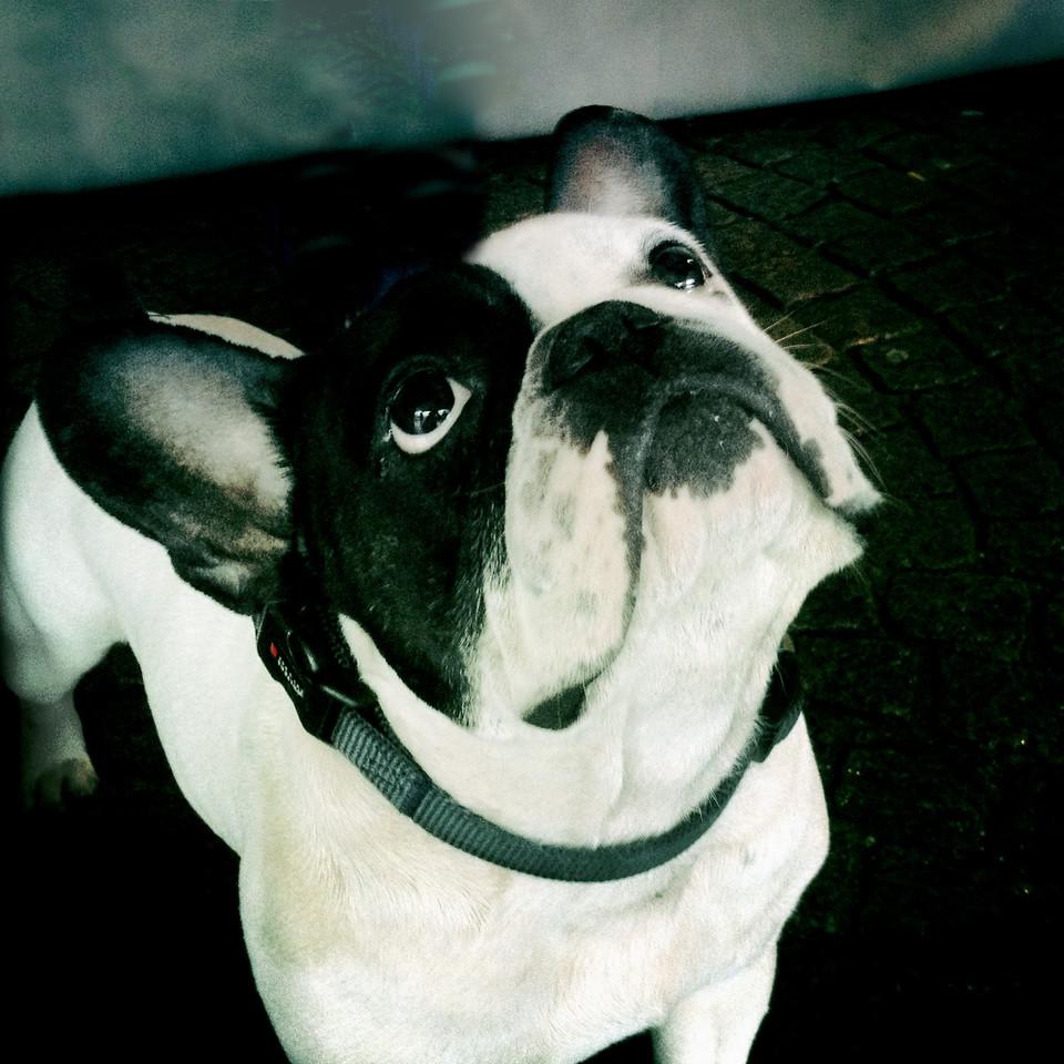 Rick (Boston Terrier)<br /> Bremen, Germany