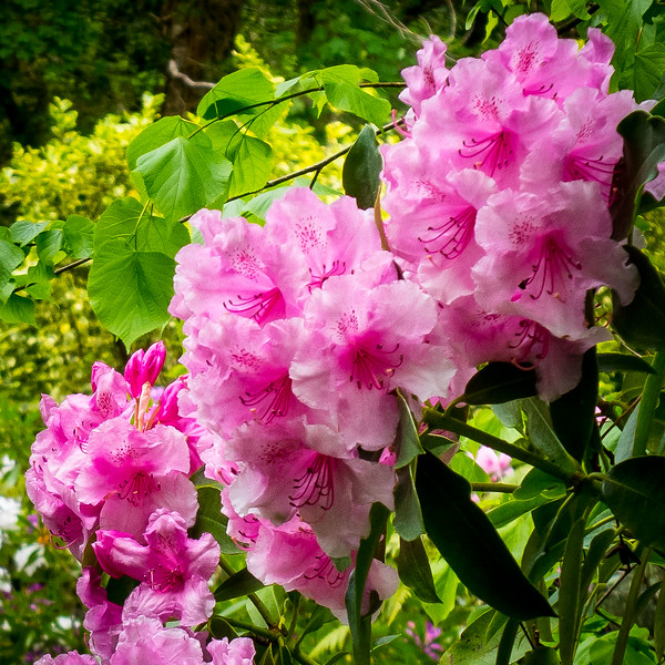 RHODODENDRONS, ALL  OVER