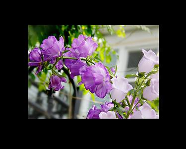 JackieSettipani purple flower1B 2015