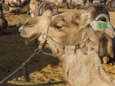 Close-up of camel in a desert, Judean Desert, Dead Sea Region, Israel