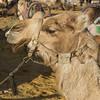 Close-up of camel in a desert, Judean Desert, Dead Sea Region, Israel