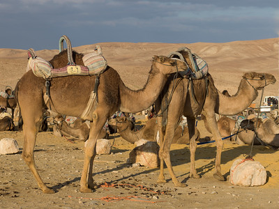 Camels in a desert, Judean Desert, Dead Sea Region, Israel