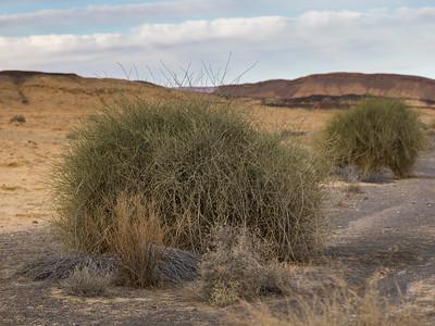 Bushes in desert, Makhtesh Ramon, Negev Desert, Israel