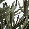Low angle view of cactus plants, Vered HaGalil, Galilee, Israel
