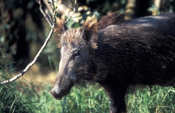 חזיר בר 1.jpg