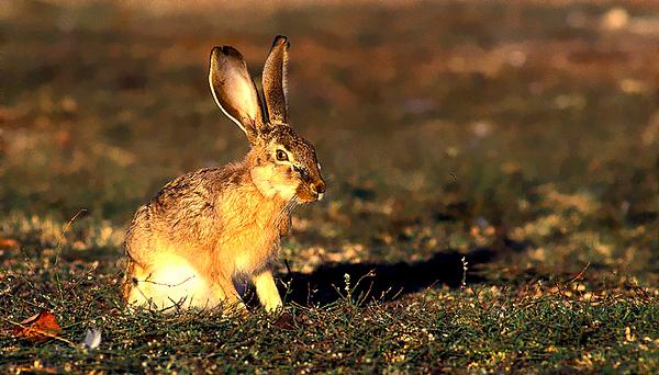 cape hare.jpg