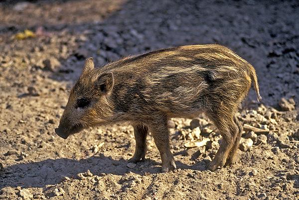 Wild Boar 7 (2).jpg
