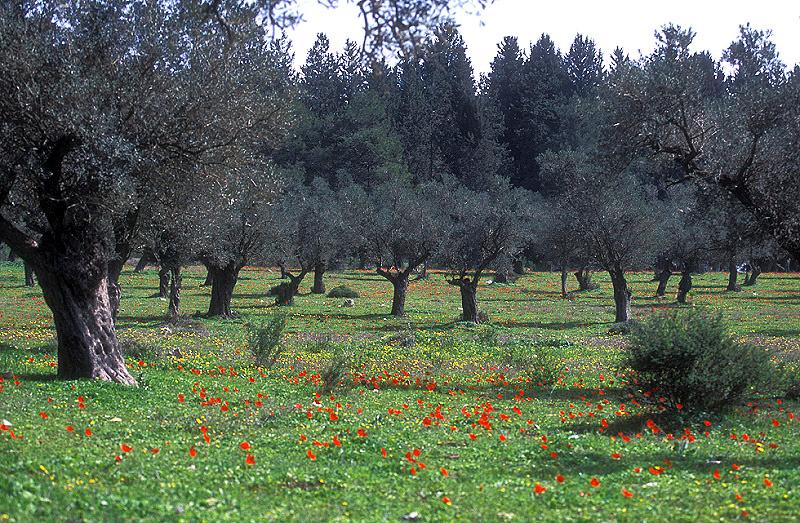 זיתים ופריחה בגליל 2.jpg