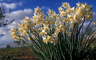 נרקיס מצוי  Narcissus tazetta