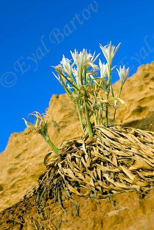 חבצלת החוף Pancratium maritimum sea daffodil