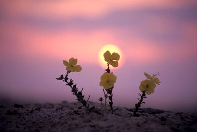 נר-הלילה -  Onagraceae, באנגלית( vening Primrose family)