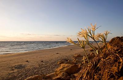 חבצלת החוף