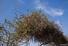 Loranthus acaciae - הרנוג השיטים