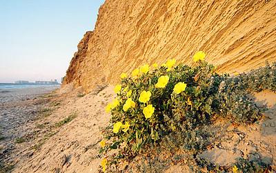 נר-הלילה -  Onagraceae, ( vening Primrose family)