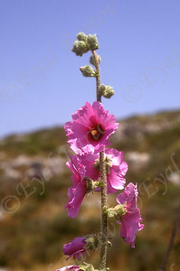 חוטמית זיפנית -Alcea rosea (common hollyhock)