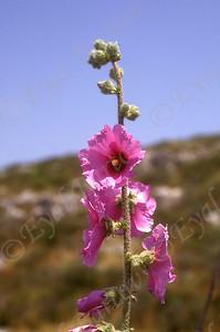 חוטמית זיפנית -Alcea rosea (common hollyhock)