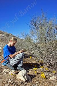 חלמונית גדולה ( Sternbergia clusiana)