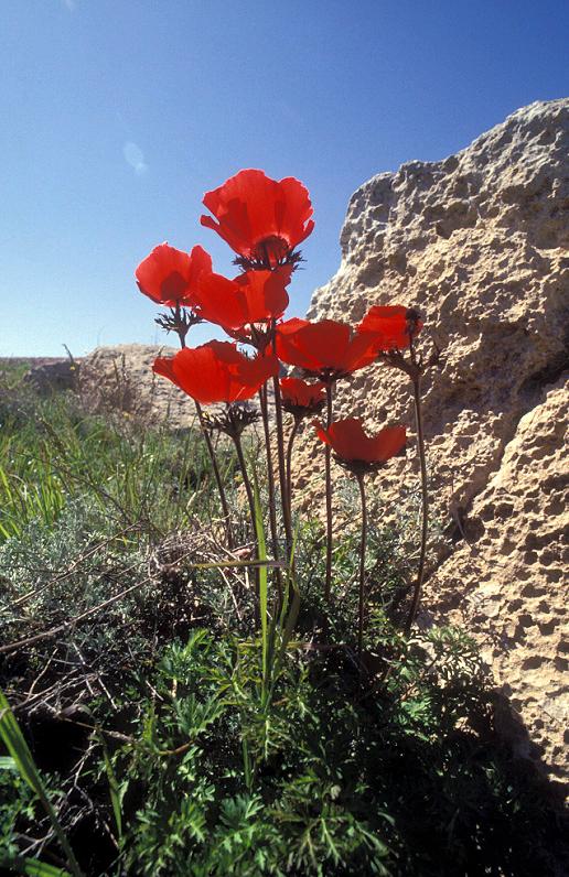כלנית מצויה ( Anemone coronaria)