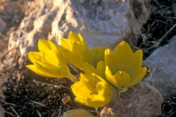 Wildflowers of Israel- פרחי בר