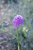 סחלב פרפרני  Orchis papilionacea