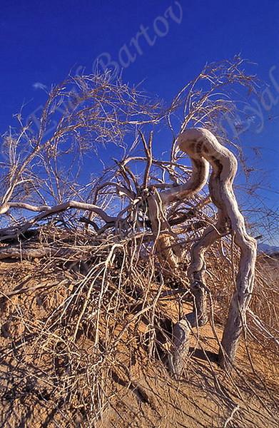 The Arabah  Sands  Dunes <br /> - חולות רדואן  הערבה עציון פרסי (לשעבר: פרקרק פרסי), (שם מדעי: Haloxylon persicum)