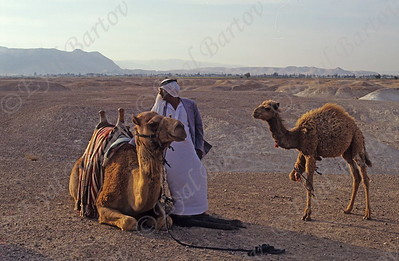 Bedouin with a camel in the Judean Desert
