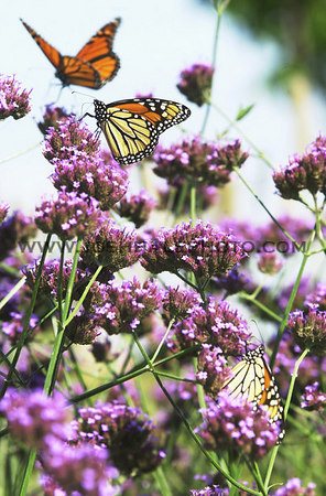 Josh Hale/Iowa State Daily<br /> Large monarch butterflies land on flowers at Reiman Gardens on Monday afternoon.  (9-03-01)